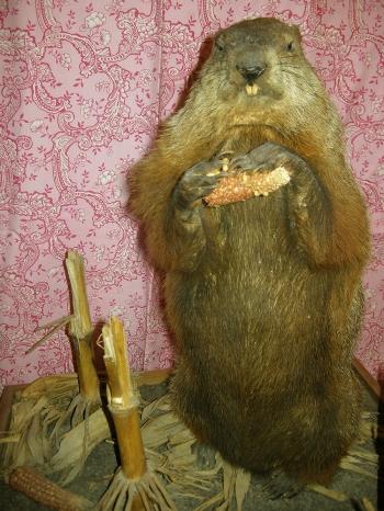 Punxsutawney Phil's stuffed cousin Potomac Phil. Photo courtesy of Dupont Festival