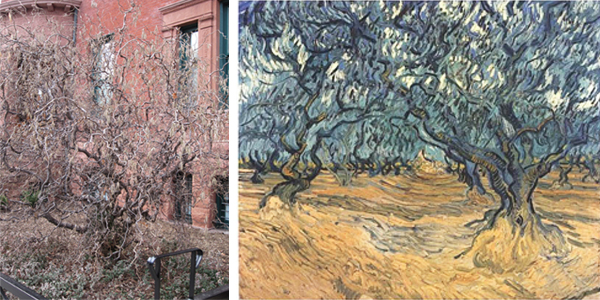 (Left) Tree in front of the main entrance at The Phillips Collection. (Right) Vincent van Gogh, Olive Grove, September 1889. Oil on Canvas. Zurich, Private Collection.